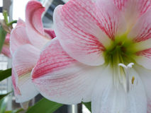 White and pink lilies. Flowers on display in the greenhouses at Elizabeth park in Hartford, CT Stock Photo