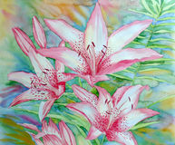 White Pink Lilies. Watercolor illustration Stock Photos