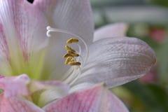 White and pink lilium flower. Macro white and pink lilium flower with stamens and stigma Royalty Free Stock Photos
