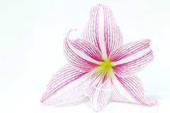 White and pink lily flower closeup photo. Floral feminine banner template with text place. Royalty Free Stock Images