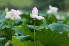 White and pink lotus bud Royalty Free Stock Images