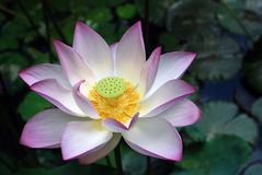 White and pink lotus. Close up of a white and pink lotus plant. This photo was taken in the university of Hong Kong Stock Photos