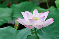 White and pink lotus flower Stock Photo