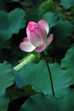 White and pink lotus. A white and pink lotus plant. This photo was taken in the university of Hong Kong Royalty Free Stock Images
