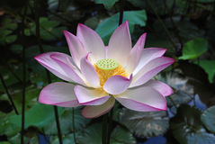 White and pink lotus. A white and pink lotus plant. This photo was taken in the university of Hong Kong Stock Image