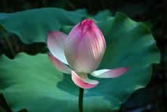 White and pink lotus Royalty Free Stock Photo