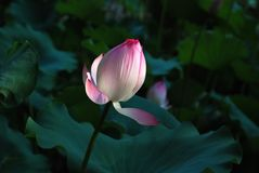 White and pink lotus. Ray of sunshine shines on the white and pink lotus plant. This photo was taken in the university of Hong Kong Royalty Free Stock Photos