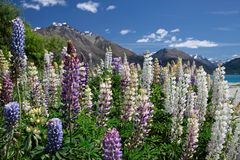 White and pink lupines at Lake Wakatipu Royalty Free Stock Image