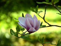 White-pink magnolia bloom. A beautiful magnolia bloom on the tree Stock Photo
