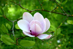 White-pink magnolia blossom in nature. A magnolia bloom against a green nature background Royalty Free Stock Photo