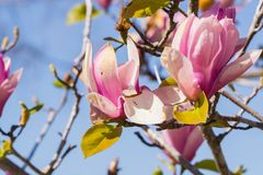 White and Pink Magnolia Blossoms against a Light Blue Sky stock images