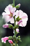 White and pink mallow (Malva) in summer Royalty Free Stock Photos