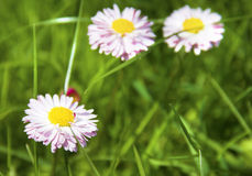 White and pink marguerite flowers Stock Image
