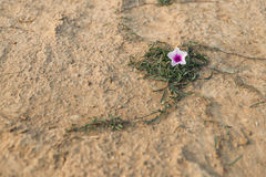 The white-pink morning glory flower on the ground Stock Photo