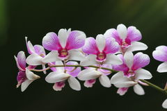 White and Pink orchid Royalty Free Stock Photography