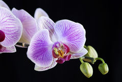 White and pink orchid  Royalty Free Stock Photo