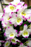 White and pink orchid Royalty Free Stock Image