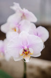 White and pink orchid Stock Image