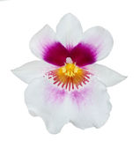 White pink orchid flower with pink and yellow center Royalty Free Stock Photos