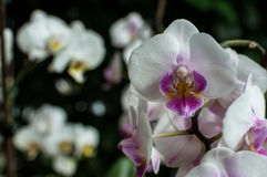 White pink orchid, white orchid on green, white orchids pink lines, natural flowers Stock Photography