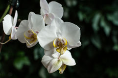 White pink orchid, white orchid on green, white orchids pink lines, natural flowers Stock Images