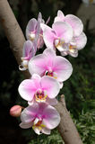 White-pink orchids Stock Image