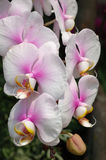 White-pink orchids Stock Images