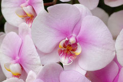 White-pink orchids Royalty Free Stock Photo