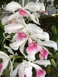 White and Pink Orchids Stock Photography