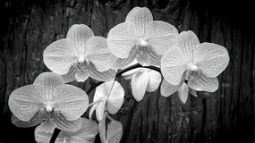 White phalaenopsis orchids Stock Image