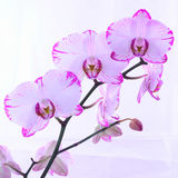 White and pink orchids on a branch. White background Stock Photography