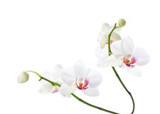 White  and pink orchids. Royalty Free Stock Photography