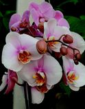 White and pink orchids Stock Images