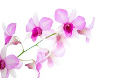White and pink oriental orchid . Royalty Free Stock Image
