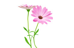 White and Pink Osteospermum Daisy or Cape Daisy Flower Flower Stock Photos