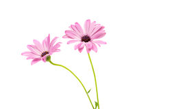 White and Pink Osteospermum Daisy or Cape Daisy Flower Royalty Free Stock Photo