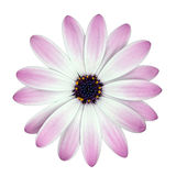 White and Pink Osteosperumum Flower isolated Stock Photo