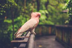 White and pink parrot siting Stock Photo