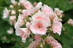 White-pink pelargonium Royalty Free Stock Images