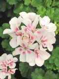 White and pink Pelargonium Gernium flowers. Lovely white and pink Pelargonium Gernium flowers in bloom during summer royalty free stock images
