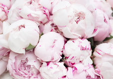 White and pink peonies. Background, wallpaper Stock Photos