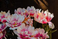 White and pink Peonies in bloom at the Frederik Meijer Gardens in Grand Rapids Michigan stock photography