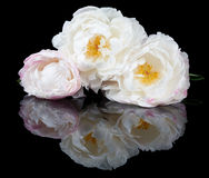 White and pink peonies Royalty Free Stock Image