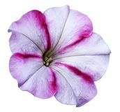 White-pink Petunia flower  on white isolated background with clipping path no shadows. Closeup. Royalty Free Stock Photos