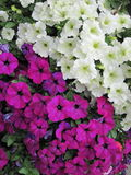 White and pink petunia Stock Photo