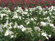 White and pink petunia flowers, Lithuania Stock Photo