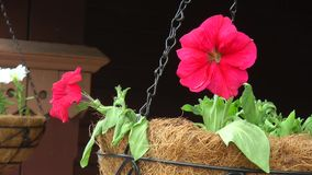 White and pink Petunia flowers at the railway station. Vase with white and pink-ass petunias hanging from the train station stock footage