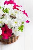 White and Pink Petunia flowers in a wattled basket on wooden bac Royalty Free Stock Images