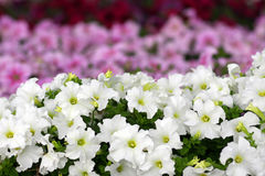 White and pink petunias Stock Image