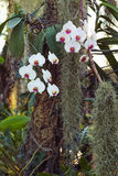 White and pink Phalaenopsis orchid. White Phalaenopsis orchid in park Royalty Free Stock Images